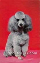 dog200270 - French Poodle Color by Scenic Art, Berkely, CA, USA Postcard Post Card