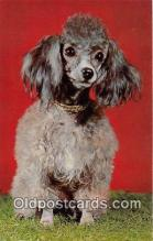dog200290 - Poodle Color by Scenic Art, Berkely, CA, USA Postcard Post Card