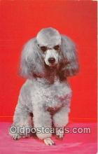 dog200311 - French Poodle Color by Scenic Art, Berkely, CA, USA Postcard Post Card