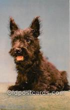 dog200333 - Scotch Terrier  Postcard Post Card