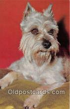 dog200444 - Schnauzer  Postcard Post Card