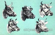 dry001004 - Dairy, Cow Cows, Postcard Post Card