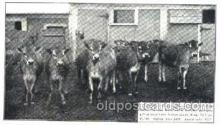 dry001011 - Heifer Calves, Hood Farm Pogis, Lowell Mass. USA Dairy, Cow Cows, Postcard Post Card