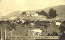 dry001016 - Monteray County, California, USADairy, Cow Cows, Postcard Post Card