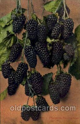 Mammoth Blackberries