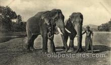 ele001048 - Ceylon Elephant, Elephants, Postcard Post Card