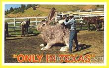 exa000174 - Huge jack rabbit, Texas, USA Exaggeration Postcard Post Card