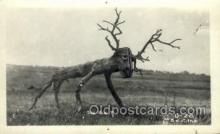 exa002188 - The Elk? Exaggeration Old Vintage Antique Postcard Post Card