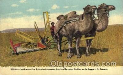 far001231 - Russia- Camels for operating harverting  Farming, Farm, Farmer, Postcard Postcards