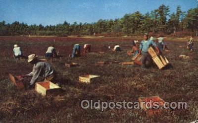 far001249 - Picking Cranberries Farming, Farm, Farmer, Postcard Postcards