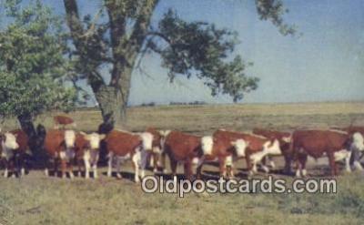 far001376 - White  Faced Herefords Farming Postcard Post Card