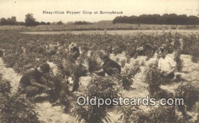 far001393 - Neapolitan Pepper Crop Farming Postcard Post Card