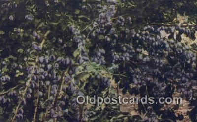 far001435 - California Prunes Farming Postcard Post Card