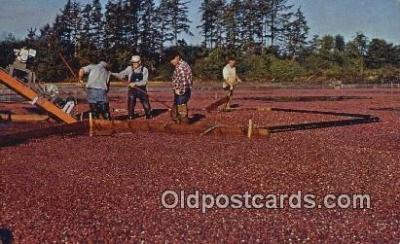far001444 - Cranberry Harvest Farming Postcard Post Card
