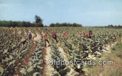 far001467 - Harvesting Tobacco Farming Postcard Post Card
