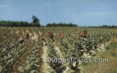 far001522 - Harvesting Tobacco Farming Postcard Post Card