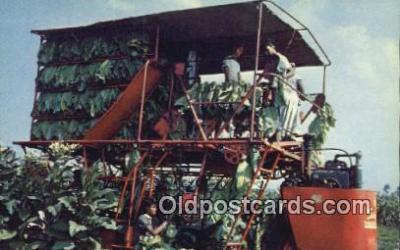 far001526 - Tobacco Harvest Farming Postcard Post Card