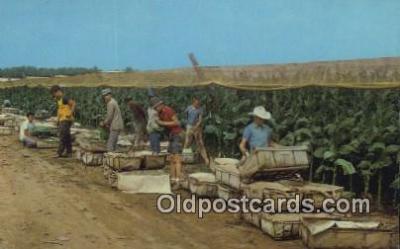 far001530 - Picking Tobacco Farming Postcard Post Card