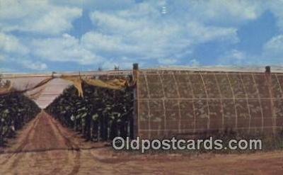 far001531 - Connecticut River Valley Tobacco Farm Farming Postcard Post Card