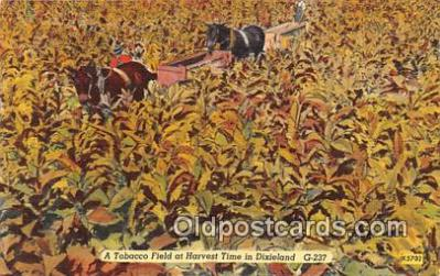 Tobacco Field at Harvest Time