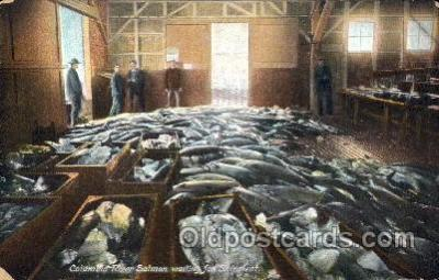 fis001080 - Columoid River Salmon waiting for shipment, Fishing Postcard Post Card