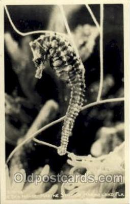 fis001143 - Sea Horse, Marineland, Florida USA Fish Fishing Postcard Post Card