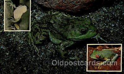 frg161 - Frog Frogs Postcard Post Card