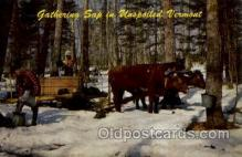 fac001082 - Gathering the Sap for the Famous Vermont Maple Syrup Vermont, USA Postcard Post Cards Old Vintage Antique