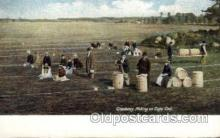 far001053 - Cranberry Picking, Cape Cod, Massachusets Farming Postcard Post Card