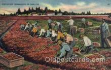 far001055 - Cranberry Picking, Cape Cod, Massachusets Farming Postcard Post Card