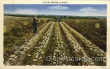 far001063 - Potato Digging, Maine Farming Postcard Post Card