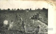 far001096 - Cotton Field Farming, Farm, Farmer, Postcard Postcards