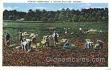 far001121 - Picking Cranberries Farming, Farm, Farmer, Postcard Postcards
