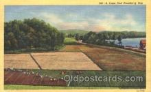 far001122 - Cranberries Farm Farming, Farm, Farmer, Postcard Postcards