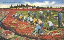 far001128 - Cranberries Farm Farming, Farm, Farmer, Postcard Postcards
