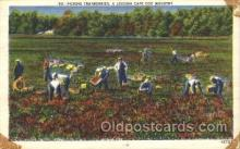 far001131 - Picking Cranberries Farming, Farm, Farmer, Postcard Postcards