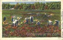 far001132 - Picking Cranberries Farming, Farm, Farmer, Postcard Postcards