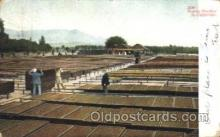 far001153 - Drying Peaches Farming, Farm, Farmer, Postcard Postcards