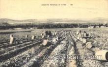 far001157 - Diging potato Farming, Farm, Farmer, Postcard Postcards