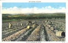far001160 - Diging potato Farming, Farm, Farmer, Postcard Postcards
