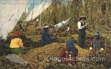far001161 - Picking hops Farming, Farm, Farmer, Postcard Postcards