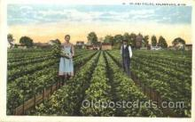 far001169 - Celery Fields Farming, Farm, Farmer, Postcard Postcards