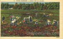far001194 - Picking Cranberries Farming, Farm, Farmer, Postcard Postcards