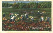 far001197 - Picking Cranberries Farming, Farm, Farmer, Postcard Postcards