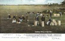 far001198 - Picking Cranberries Farming, Farm, Farmer, Postcard Postcards