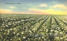 far001225 - Maine Potatoes in Bloom Farming, Farm, Farmer, Postcard Postcards