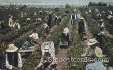 far001232 - Picking Dewberries Farming, Farm, Farmer, Postcard Postcards