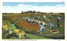 far001233 - Harvesting Cranberries Farming, Farm, Farmer, Postcard Postcards