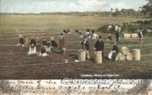 far001235 - Picking Cranberries Farming, Farm, Farmer, Postcard Postcards
