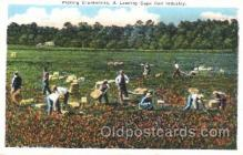 far001236 - Picking Cranberries Farming, Farm, Farmer, Postcard Postcards